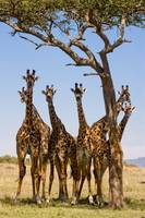 Giraffes under trees