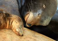 Sea Lion Nap