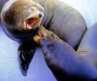Sea Lion Discussion