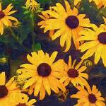 """Black Eyed Susans"" by texancharm"