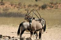 Three oryxes in Kgalagadi - South Africa