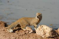 mongoose at water in Kgalagadi