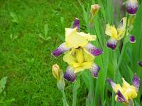 Purple Yellow Iris Family