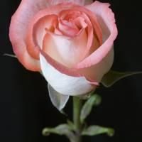 rose by julie scholz