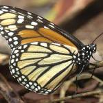 """DSC_4343b Monarch Butterfly closeup and personal"" by eyalna"