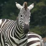 """""""Zebra"""" by Gillybix"""