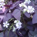 """Purple"" by mematera"