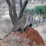 """Cheetah with Cubs"" by stockphotos"