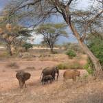 """Elephants under Acacia Tree"" by stockphotos"