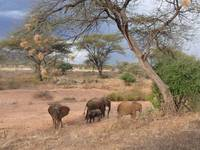 Elephants under Acacia Tree