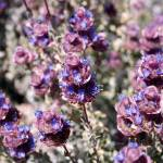 """Mojave Violet"" by PadgettGallery"