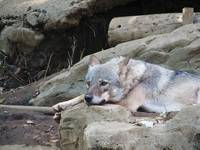 Asian Wolf in Repose