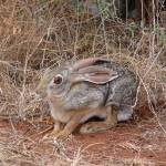 """African Hare"" by stockphotos"