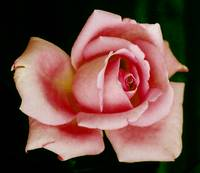 Pink Rose Perfection