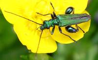 Buttercup and Green Bug