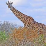 """Masaai Giraffe"" by stockphotos"