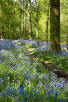 Magical Bluebell Path