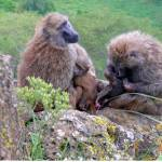 """Baboon Family"" by stockphotos"
