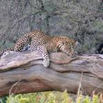 """Leopard on Log"" by stockphotos"