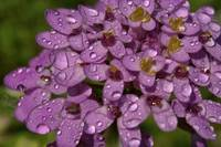 Purple Flowers with Water Drops