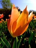 Sun Kissed Tulip