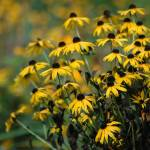 """blackeyedsusan"" by wmsphotography"