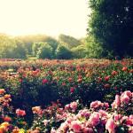 """""""Rose Garden"""" by heathersteed"""