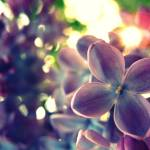 """Lilacs"" by heathersteed"