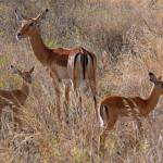"""Impala Mother with Fawns"" by stockphotos"