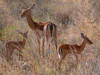 Impala Mother with Fawns