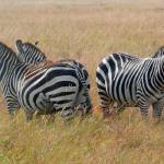 """Zebra Sentries"" by stockphotos"