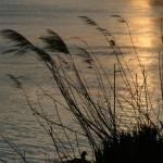 """Canard au soleil couchant sur le Rhône, Avignon"" by thomasgrascoeur"