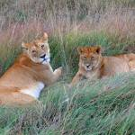 """Resting Lions"" by stockphotos"