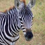 """Zebra - Amboseli"" by stockphotos"