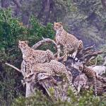 """Cheetahs on Log"" by stockphotos"