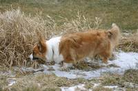 Cardigan Welsh Corgi on the Track