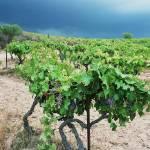 """""""Vigne - Corse"""" by ludovicbecker"""