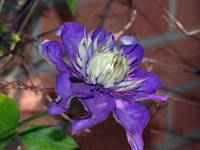 Double Blue Clematis