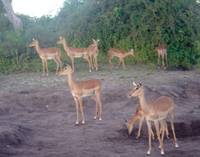 Group of Impala's in Zambia on full alert