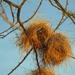 """Weaver Bird in Nest"" by stockphotos"
