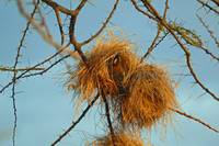 Weaver Bird in Nest