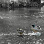 """Mallards  (14256-RDB)"" by rodjohnson"