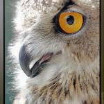 """Eagle Owl: Staring into Sunlight, ワシミミズク,  欧洲产之大雕,"" by JimagesDigital"
