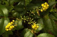 Oregon Grape (mahonia nervosa)