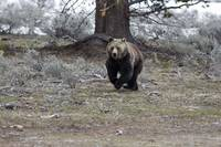 Galloping Grizzly Bear