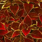 """Glowing Red Leaves"" by gwilsonphoto"