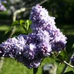 """Lilacs"" by MeggieB"