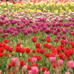 """""""Field of Color"""" by Martha"""