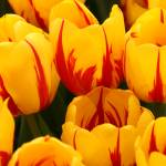 """""""""""Tulips in Waiting"""""""" by Martha"""
