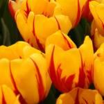 """Tulips to take Home"" by Martha"